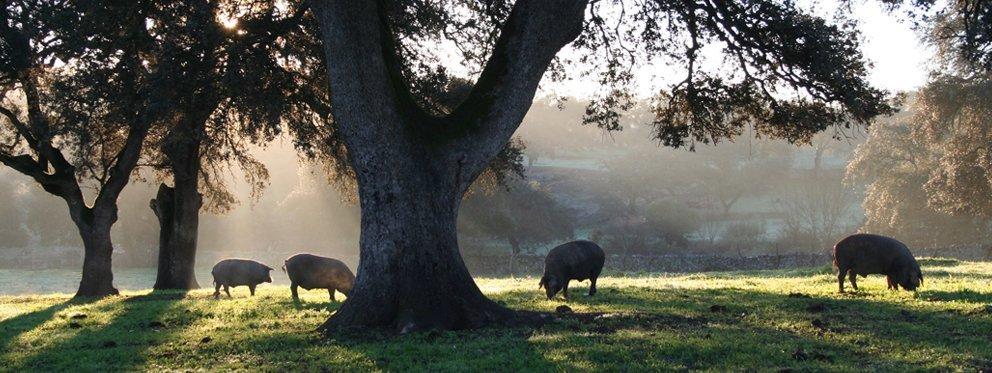 Cerdo ibérico de bellota en la Sierra de Aracena y Picos de Aroche.